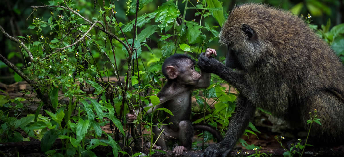 3 Days Chimpanzee Tracking